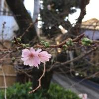 御会式桜で恋がみのる…?