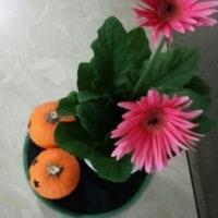 ピンクのガーベラ(花)つながり