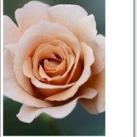 今朝の、、薔薇たち、、。