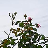 秋の薔薇 ナエマ