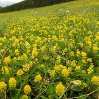 黄色い小さな花の絨毯