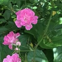 ミニミニ薔薇🌹