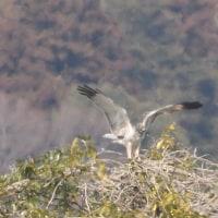 木の上で翼を大きく広げた、大陸型チュウヒ。