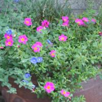 公園の花壇に植えられている花,三貴フラワーで買ってくると言ったが