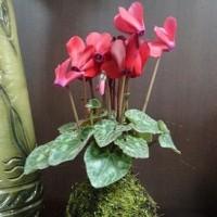 市長室の花~ガーデンシクラメン~