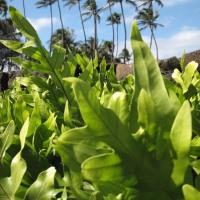 ハワイのシダ達