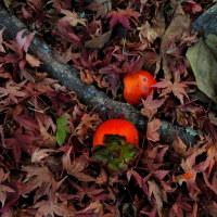 「色づく落とし物」 いわき 夏井川渓谷にて撮影! 柿の実