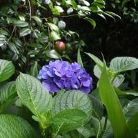 梅雨本番 唐芋植付終わる 2017/06/21 (鹿児島)