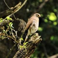 今日の野鳥    サシバ・キジ・キビタキ