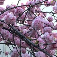 今年の桜の見納め(*^^*)