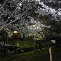 夜桜を見に