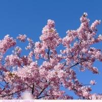 カワヅザクラ 〈河津桜〉 C