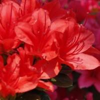 桜・八重桜の次に咲く花は?