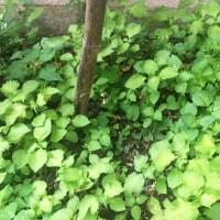 大葉畑、紫蘇の葉でいっぱい