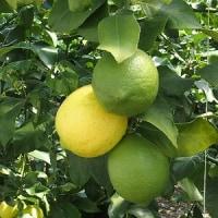 レモンのハウス