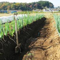 ネギを初収穫