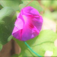 花木点景:夏紫―初花朝顔