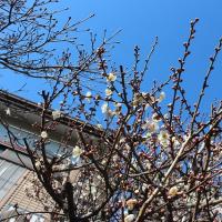 相模大野:梅咲きました。