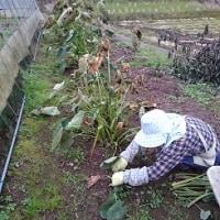 里芋を収穫