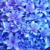 紫陽花 (花 4474)