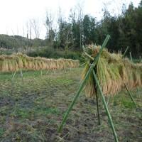 稲刈り終わりました。