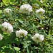 我が家の春の花 その参 サクラツツジ イワヒゲ トキンイバラ 黄金ハナイカダ