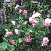 友人の庭のバラを見に