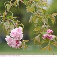 キクシダレ 〈菊枝垂〉 桜