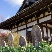 水仙ひっそりと般若寺(奈良県奈良市般若寺町)