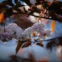アヤメ、八重桜、ツツジが咲きました