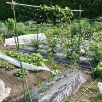 2017 菜園近況「雑草取りと収穫」