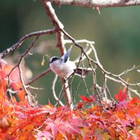 岡崎公園の白いシジュウカラ その59