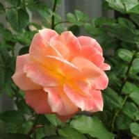 きょうの薔薇1020