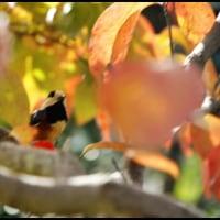 紅葉の中のヤマガラ