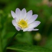庭のお花達 薄紫の都忘れ他