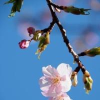 河津桜 (長居公園)