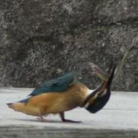 フリー素材 : 野鳥 ・ 翡翠  於大公園のカワセミ