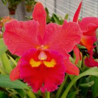 ◆Rlc. Tzeng-Wen Bay'Brilliant Orange'