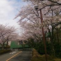 大学の日々 大学の桜