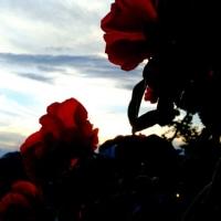 初夏の薔薇