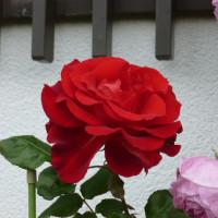 赤い薔薇達