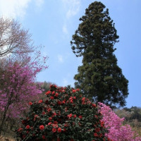 龍殊院の枝垂れさくら・今熊神社のミツバツツジ・多摩森林科学園の桜の撮影に行く