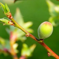春の庭・・・梅の実と・・・あんずの実・・・が大きくなりました