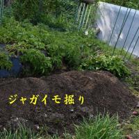 2017/05/21 ジャガイモ掘り