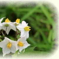 茄子の花 白バージョン