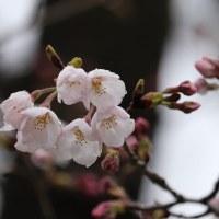 熊谷でもソメイヨシノが開花したよ!