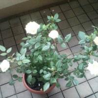 ベランダの薔薇