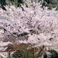 桜咲く学び舎-滋賀県近江八幡市:沖島