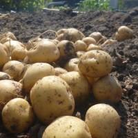 農園でジャガイモの収穫♪(5月29日)