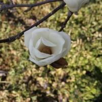 木蓮の花咲き誇っています。